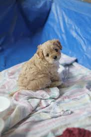 Do Cavapoos Shed A Lot by 80 Best Oodle Cavoodle Cavapoo Images On Pinterest Blog