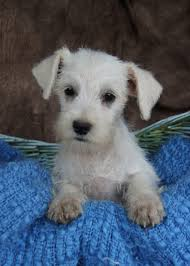 Non Shedding Small Dogs For Adoption by Quality Miniature Schnauzers Miniature Schnauzer Puppies For Sale