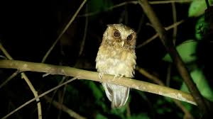 Reddish Scops-Owls In Malaysia Rainforest - YouTube Amazing Barn Owl Nocturnal Facts About Wild Animals Barn Owl By David Cooke For Sale The Sculpture Parkcom Rhodium Comes To Canada With Its Striking New Nocturnal Nature Flying Wallpapersbirds Unique Hd Wallpapers Owls In Kuala Lumpur Bird Park Stock Photo Image 87325150 Biocontrol View Common In Malaysia Sekinchan Paddy Field Youtube Another Blog Farmers Friend Bear With Him Girl Mom Birds Of World Owls