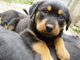 german shepherd rottweiler mix breed info characteristics and