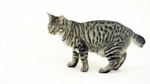 bobtail cat american bobtail cat pictures and information cat breeds
