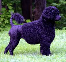 Portuguese Water Dog Non Shedding by Grooming