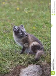 Animales Zorro Polar Fondo De Pantalla Animals Arctic Fox Fox