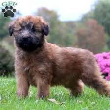 Do Wheaten Terrier Puppies Shed by Soft Coated Wheaten Terrier Puppies For Sale In De Md Ny Nj Philly