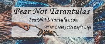 Pumpkin Patch Tarantula Scientific Name by What U0027s Going On At Fear Not Tarantulas