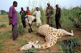 West African Giraffe Giraffa Camelopardis Peralta Poached By Local People Sahel Niger Anti