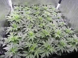 fin de floraison cannabis exterieur plantes de cannabis en croissance philosopher seeds