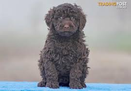 No Shed Dogs Medium by Medium Groodle Golden Retriever X Poodle Puppies For Sale In