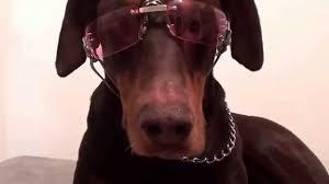 doggles k9 optix dog sunglasses uv lenses eye protection pet