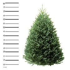 Christmas Tree 10ft by 8 Ft Fraser Fir Christmas Tree Hilltop Christmas Tree Delivery
