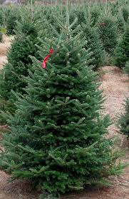 Fraser Fir Christmas Trees Delivered by Good Earth Garden Market Services Christmas Tree Installation