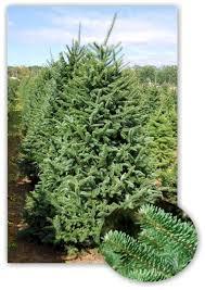 Christmas Tree 10ft by 10ft Fir Christmas Tree Edinburgh Xmas Trees