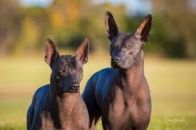 Do Samoyed Dogs Shed Hair by Samoyed Breed Profile Australian Dog Lover