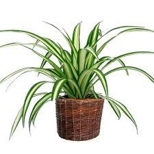 entretien plante grasse d interieur les plantes grasses d intérieur le chlorophytum entretien facile