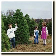 Nordmann Fir Christmas Tree Nj by Mary U0027s Blog