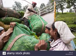 100 Hand Picked Trucks Picked Tea Leaves Are Being Loaded On A Truck At A Tea Stock