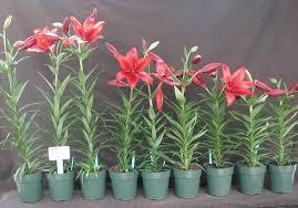 flower bulb research program dept of horticulture cornell