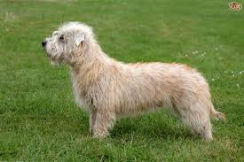 Do Irish Wheaten Terriers Shed by Soft Coated Wheaten Terrier Hereditary Health And Longevity