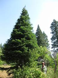 Balsam Christmas Trees Real by Large Live Christmas Trees Order Jfp Christmas Trees