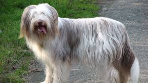 Good Big Non Shedding Dogs by 15 Dog Breeds That Don U0027t Shed Much Barking Royalty