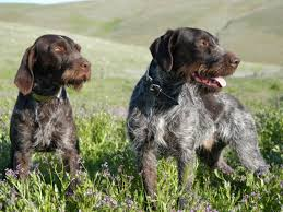 German Wirehaired Pointer Shedding by 100 German Wirehaired Pointing Griffon Shedding About Pet