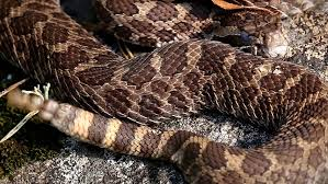 rattle snake stock footage video shutterstock