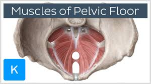 Pelvic Floor Relaxation Exercises Youtube by Video Muscles Of The Pelvic Floor Kenhub