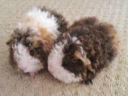 Pine Bedding For Guinea Pigs by Best 25 Female Guinea Pigs Ideas On Pinterest Was Kann Man An