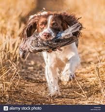 Field Springer Spaniel Shedding by Wood Pigeon Shooting Stock Photos U0026 Wood Pigeon Shooting Stock