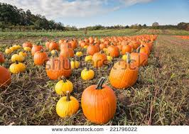 Wheatfield Pumpkin Patch by Father Child Picking Out Pumpkin On Stock Photo 221795956