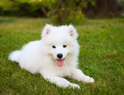 samoyed dog breed information pictures characteristics facts