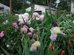 iris bulbs for sale bearded siberian blue reblooming