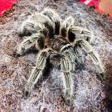Pumpkin Patch Tarantula Bite by 1869 Best Creepy Crawlies Images On Pinterest Spiders Insects