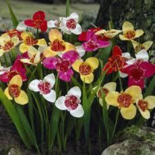 tigridia jockey cap garden express
