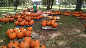 Pumpkin Patch Tampa by The Fox Squirrel Corn Maze Futch Entertainment