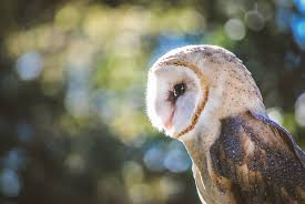 Barn Owl Wallpaper HD 2016 In Birds | Wallpapers HD Barn Owl United Kingdom Eurasian Eagleowl Wallpaper Studio 10 Tens Of Barn Owl Wallpapers And Backgrounds Pictures 72 Images By Faezza On Deviantart Bird Falconry One Animal Closeup Free Image Snowy Hd 78 Sits Pole Wooden Dove Birds Images Hd 169 High Wallpaper 1680x1050 11554 Free Backgrounds At Wildlife Monodomo 2 One Online 4k Desktop For Ultra Tv Wide
