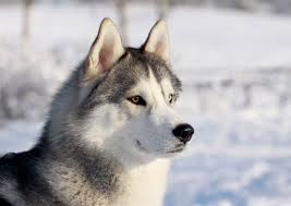 Does Akita Shed A Lot by Top 10 Dog Breeds That Shed U2026 A Lot