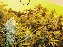 refroidir chambre de culture le froid dans la culture du cannabis du growshop alchimia