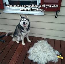 do huskies or malamutes shed more siberian husky fur i remember bags of fur from my baby