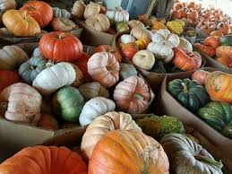 Pumpkin Picking In Waterbury Ct by Corn Mazes Foster Family Farm South Windsor Ct Home