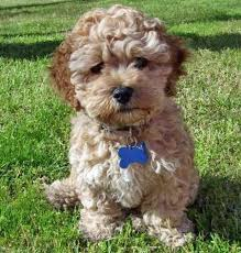 15 best cockerpoos images on pinterest dogs cavapoo and cats