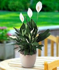 Indoor No Light Plants Best Indoor Plants Best Indoor Plants Good