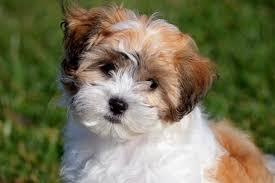 hypoallergenic dog breeds cuteness