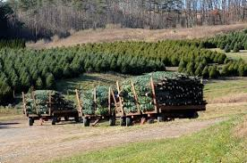 Pinecrest Christmas Tree Farm by Christmas Trees Could Be In Short Supply But Not In Berks County