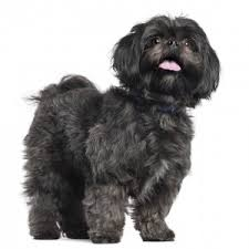 My Lhasa Apso Is Shedding Hair by Lhasa Apso