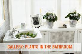 Plants For Bathrooms With No Light by Bathroom Plants Forroom With Good Images Inspirations No Light