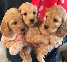 Do F2 Cockapoos Shed by Apricot Cockapoo Puppies Dogs And Puppies Rehome Buy And Sell