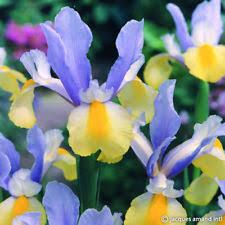 iris bulbs ebay