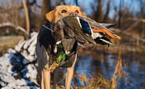 why you should consider an off breed retriever wildfowl