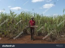 Cuban Farmer Working In Sugar Cane Field